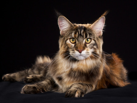 maine coon: Purebred Maine Coon cat isolated on black background in studio.