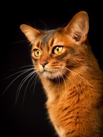 somali: Orange Somali cat photographed indoors in studio on black background.