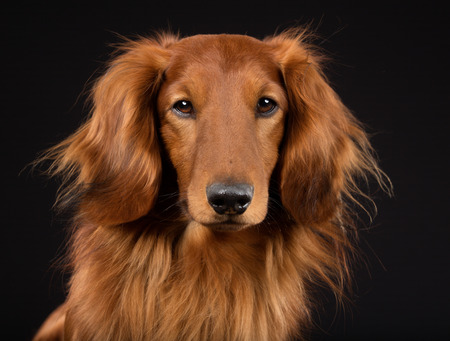 longhaired: Purebred longhaired dachshund indoors in studio and isolated on black background. Stock Photo
