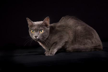 korat: Korat cat photographed indoors in studio on black background.