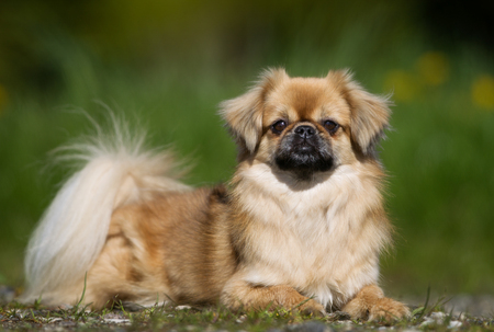 Purebred Tibetan Spaniel dog outdoors in the nature on grass meadow on a summer day.