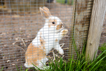 enclosure: Young cute rabbit outdoors in farm animal enclosure on a sunny day.