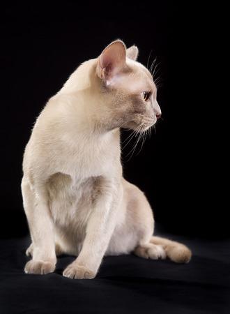 pedigree: Full body shot of pedigree cat isolated on black background indoors in studio. Stock Photo