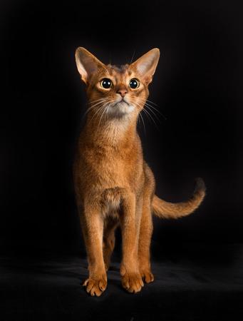 somali: Full body shot of pedigree Somali cat isolated on black background indoors in studio. Stock Photo