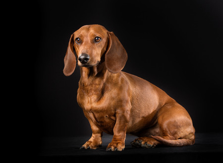 dachshund: Purebred shorthaired dachshund indoors in studio and isolated on black background.