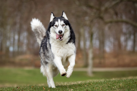 husky: A purebred Siberian Husky dog without leash outdoors in the nature on a sunny day.