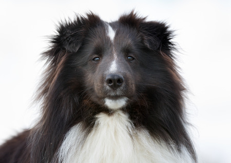 sheepdog: A purebred Shetland Sheepdog without leash outdoors in the nature on a sunny day.