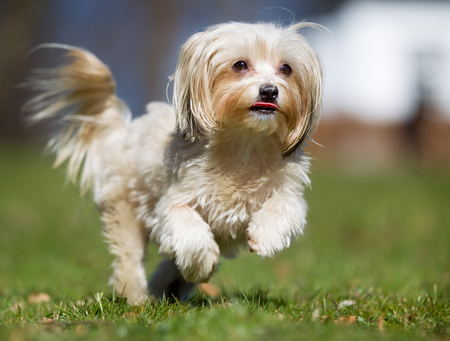 havanais: A purebred bichon havanais dog running without leash outdoors in the nature on a sunny day.