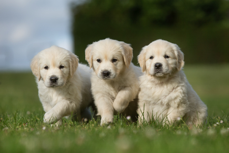 Three adorable purebred golden retriever puppy outdoors in the nature on grass meadow on a sunny summer day.