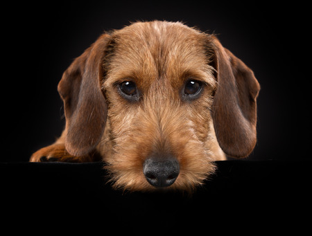 brown and black dog face: Purebred wirehaired dachshund indoors in studio and isolated on black background. Stock Photo