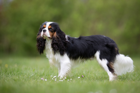 small dog: A purebred Cavalier King Charles Spaniel dog without leash outdoors in the nature on a sunny day. Stock Photo