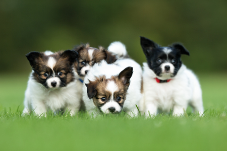 Four young purebred brown and white papillon continental toy spaniel dog puppies outdoors on grass on a sunny summer day.