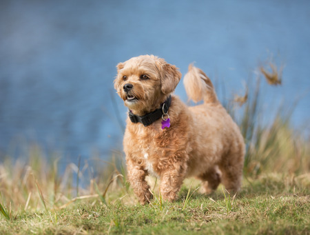 havanais: A mixed breed dog without leash outdoors in the nature on a sunny day.