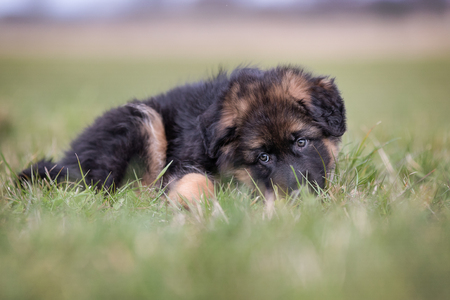 german shepherd on the grass: Closeup of purebred young German Shepherd dog puppy outdoors on a grass field on a sunny spring day.