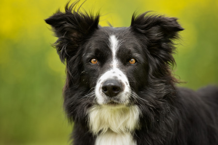 gazing: Purebred border collie dog outdoors in the nature on grass meadow on a summer day.