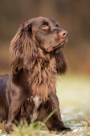 pointer dog: brown german longhaired pointer dog outdoors on grass field on a sunny spring day.