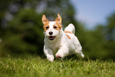 Purebred Jack Russel Terrier dog outdoors in the nature on grass meadow on a summer day. Standard-Bild
