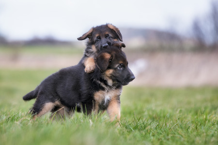 german shepherd on the grass: Two purebred young German Shepherd dog puppies playing outdoors on a grass field on a sunny spring day.