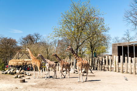 zoological: COPENHAGEN, DENMARK - APRIL 18, 2015: The giraffes at the popular Danish tourist attraction The Copenhagen Zoological Garden welcomes visitors on a sunny day during spring.
