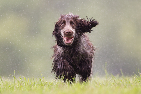 Purebred cocker spaniel dog outdoors in the nature on grass meadow on a rainy summer day. Stockfoto
