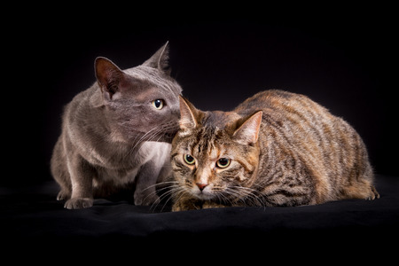 korat: A Korat cat and a domestic cat in studio on black background.
