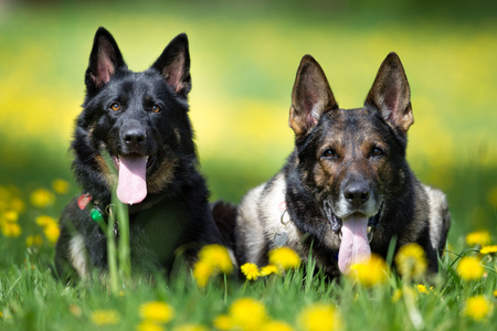 german shepherd on the grass: Purebred German Shepherd dogs outdoors in the nature on grass meadow on a summer day.