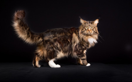 maine coon: Maine Coon cat photographed indoors in studio on black background.