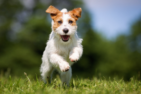 russel: Purebred Jack Russel Terrier dog outdoors in the nature on grass meadow on a summer day. Stock Photo