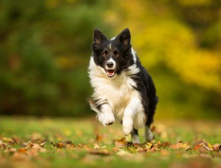가을 동안 흐린 날에 야외에서 순종 된 성인 개.