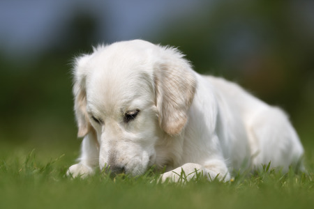 sniff: Purebred golden retriever dog outdoors in the nature on grass meadow on a summer day.
