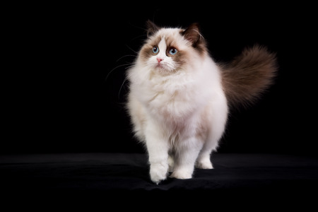 pedigree: Pedigree Ragdoll cat photographed indoors in studio on black background.