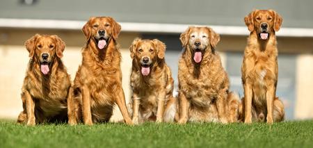 perro adulto de raza pura al aire libre en la naturaleza en un día soleado a finales de primavera y principios de verano.