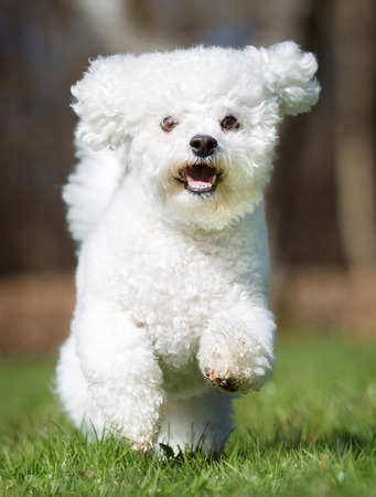A purebred bichon frise dog without leash outdoors in the nature on a sunny day. Stock Photo