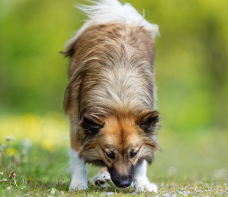sniff dog: Purebred adult dog outdoors in the nature on a sunny day during late spring and early summer.