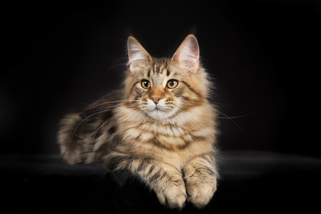 Full body shot of pedigree Maine Coon cat isolated on black background indoors in studio. Stock Photo