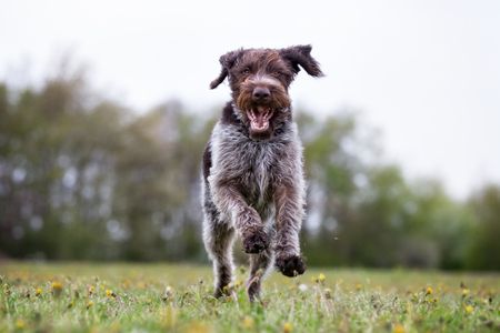 pointer dog: A purebred german wirehaired pointer dog running without leash outdoors in the nature on a sunny day.