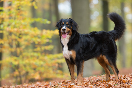 Purebred adult Bernese Mountain Dog outdoors in the forest on a cloudy day during autumn. Stock Photo