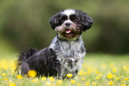 havanese: Purebred bichon havanese dog outdoors in the nature on grass meadow on a summer day.