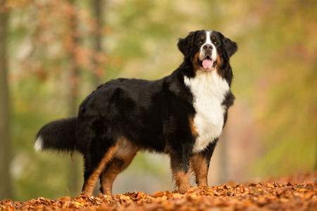 berner: Purebred adult Bernese Mountain Dog outdoors in the forest on a cloudy day during autumn. Stock Photo