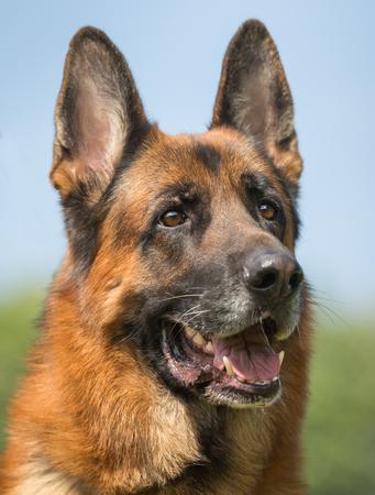 Gezonde rasechte hond gefotografeerd buitenshuis in de natuur op een zonnige dag.