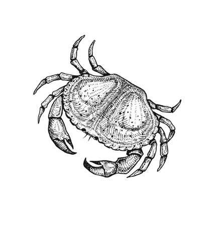 art product: Vector illustration of a crab. Hand drawn sketch. Fresh and delicious seafood