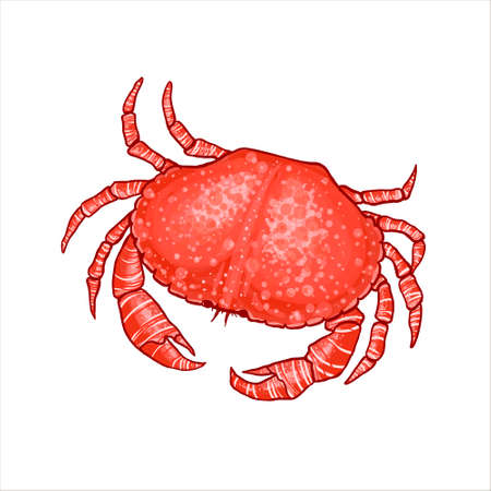 illustration of a crab in realistic style. Stylized illustration of a boiled crab with stripes