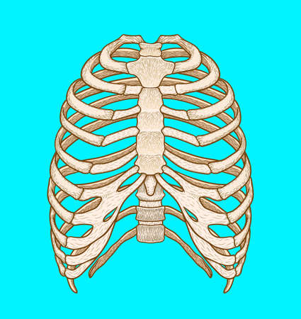 Illustration of human rib cage. Line art style. Boho vector realistic