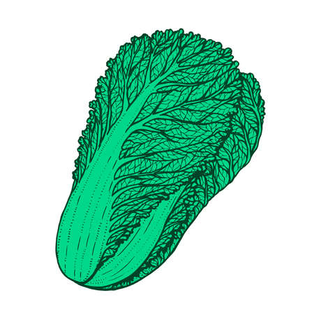 Hand drawn vector illustration of napa cabbage doodle style 向量圖像