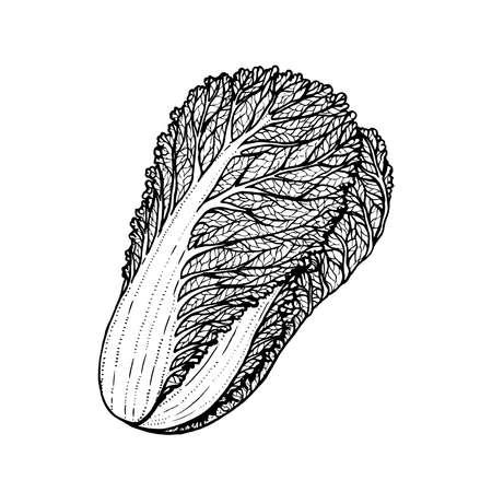 kale: Hand drawn vector illustration of napa cabbage doodle style Illustration