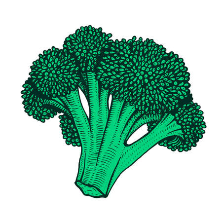 Hand drawn vector illustration of cauliflower doodle style