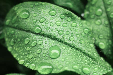 Water drops on green leaf. Close up. Dew after rain