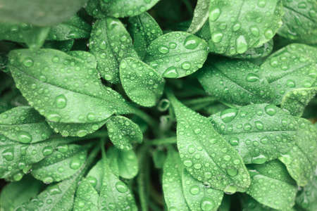 Fresh water drops on green leaves. Close up. Dew after rain Foto de archivo