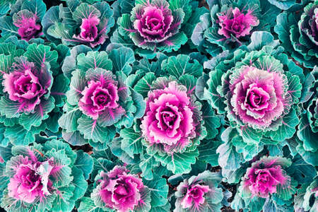 Decorative cabbage with green and purple pink leaves. Top view. Nature background