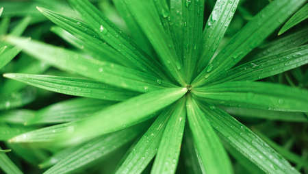 Water drops on green long leaves. Close up. Dew after rain macro